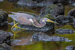 Tricolored heron (Egretta tricolor) walking at water edge, Ding Darling National Wildlife Sanctuary, Florida, USA, March.  -  George  Sanker