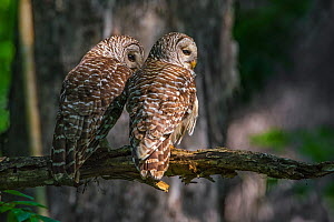 Barred owl (Strix varia) two sitting side by side, rear view, Corkscrew Swamp Audubon Sanctuary, Florida, USA, March. - George  Sanker