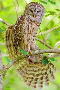 Barred owl (Strix varia) stretching wings,  Corkscrew Swamp Audubon Sanctuary, Florida, USA, March. - George  Sanker