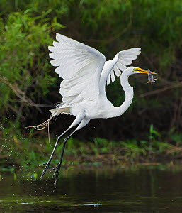 Great egret (Ardea alba) taking off with fish prey in mouth, Myakka River State Park, Florida, USA, March.  -  George  Sanker
