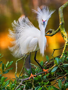 Snowy egret (Egretta thula) with plumes erect, St. Augustine, Florida, USA, April. - George  Sanker
