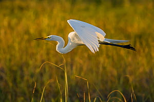 Great egret (Ardea alba) in flight, Florida, USA, March.  -  George  Sanker