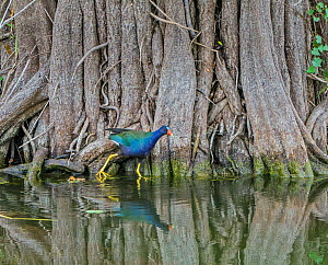 Purple gallinule (Porphyrula martinica) in mangrove swamp. Everglades National Park, Florida, USA. March.  -  George  Sanker