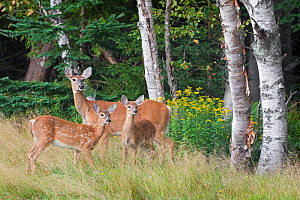 White-tailed deer (Odocoileus virginianus) mother with fawn. Acadia National Park, Maine, USA, September. - George  Sanker