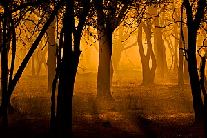 Sunrise in forest, silhouetting trees. Ranthambhore Tiger Reserve, India.  -  Andy  Rouse