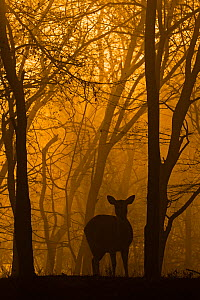 Chital deer (Axis axis) silhouetted in forest at sunrise, Ranthambhore, India - Andy  Rouse
