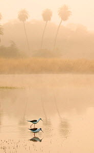 Black winged stilt (Himantopus himantopus) at sunrise on lake, Ranthambhore Tiger Reserve, India. - Andy  Rouse