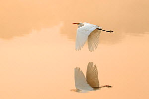Great egret (Ardea alba) flying across lake, Ranthambhore National Park, India - Andy  Rouse