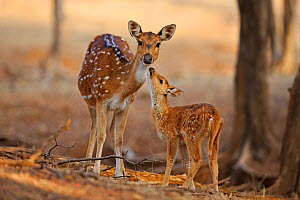 Chital deer (Axis axis) mother with young, Ranthambhore National Park, India.  -  Andy  Rouse