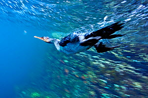 Galapagos flightless cormorant (Phalacrocorax harrisi) diving for fish underwater, Galapagos.  -  Andy  Rouse