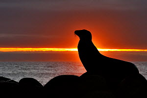 Galapagos sea lion (Zalophus wollebaeki) silhouetted at sunset, Galapagos.  -  Andy  Rouse