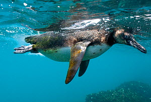 Galapagos penguin (Spheniscus mendiculus) diving for fish, Galapagos. Endangered species. - Andy  Rouse