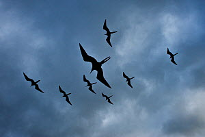 Magnificent frigate bird (Fregata magnificens) group flying against cloudy sky, Galapagos.  -  Andy  Rouse