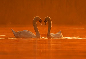 Mute Swan (Cygnus olor) courtship behaviour, Wales, UK, April.  -  Andy  Rouse