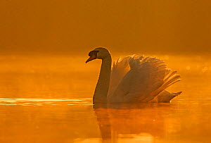 Mute swan (Cygnus olor) with wings raised defensively at sunrise, Wales, UK, April. - Andy  Rouse