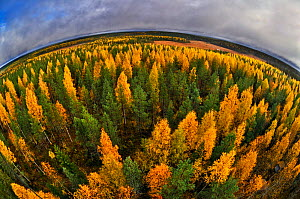 Fish eye aerial view of autumnal forest, Finland, September.  -  Andy  Rouse
