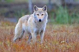 Grey wolf (Canis lupus lupus)  Finland, September.  -  Andy  Rouse