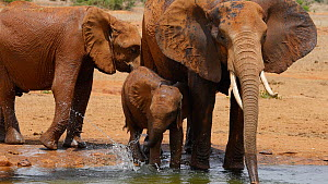 Family of African elephants (Loxodonta africana) bathing at a waterhole, Tsavo National Park, Kenya. - Steve O. Taylor (GHF)
