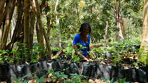 Woman working in a tree nursery at Mezimbite Sustainable Forest Camp, part of the Reseed Africa Program replanting trees in nearly a dozen sustainable forestry initiatives, Mozambique, 2014. - Steve O. Taylor (GHF)