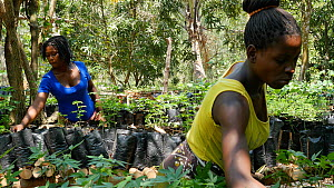 Women working in a tree nursery at Mezimbite Sustainable Forest Camp, part of the Reseed Africa Program replanting trees in nearly a dozen sustainable forestry initiatives, Mozambique, 2014. - Steve O. Taylor (GHF)
