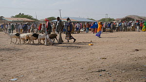 View of Hargeisa Livestock Market, with Domestic goats (Capra aegagrus hircus) for sale, Somaliland, 2014. - Steve O. Taylor (GHF)