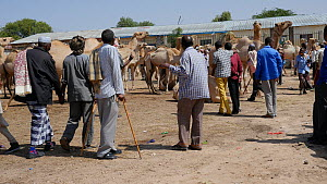 Domestic camels for sale in Hargeisa Livestock Market, with two men talking in the foreground, Somaliland, 2014. - Steve O. Taylor (GHF)