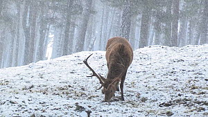 Red deer (Cervus elaphus) stag feeding in a snowy pine forest, Cairngorms National Park, Scotland, UK, February.  -  SCOTLAND: The Big Picture