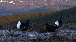 Two male Black grouse (Tetrao tetrix) displaying  and fighting at a lek at dawn, with a third individual in the background, Cairngorms National Park, Scotland, UK, April.  -  SCOTLAND: The Big Picture