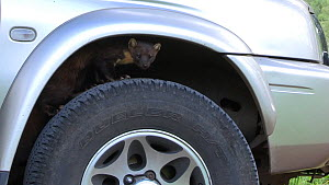 Pine marten (Martes martes) on top of a car wheel, Ardnamurchan Peninsula, Lochaber, Scotland, UK, June. - SCOTLAND: The Big Picture