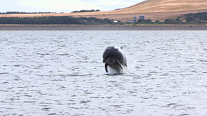 Bottlenose dolphins (Tursiops truncatus) surfacing and breaching just offshore, Black Isle, Scotland, UK, July.  -  SCOTLAND: The Big Picture