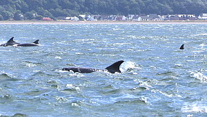 Pod of Bottlenose dolphins (Tursiops truncatus) surfacing just offshore, Black Isle, Scotland, UK, July. - SCOTLAND: The Big Picture