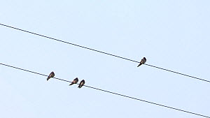 Barn swallows (Hirundo rustica) perched on a telegraph wire before taking off, Cairngorms National Park, Scotland, UK, September. - SCOTLAND: The Big Picture