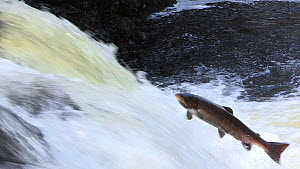 Atlantic salmon (Salmo salar) leaping up a small waterfall in order to reach breeding grounds further upstream, Cairngorms National Park, Scotland, UK, October. - SCOTLAND: The Big Picture