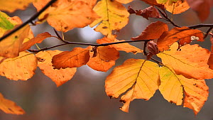 Close up of Beech tree (Fagus sylcatica) leaves in autumn, moving in the wind, Cairngorms National Park, Scotland, UK, October.  -  SCOTLAND: The Big Picture