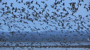 A large flock of pink-footed geese (Anser brachyrhynchus) at their roosting site, Montrose, Scotland, UK, November.  -  SCOTLAND: The Big Picture