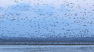 A large flock of pink-footed geese (Anser brachyrhynchus) in flight above the mudflats at Montrose basin, Montrose, Scotland, UK, November.  -  SCOTLAND: The Big Picture