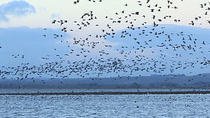 Pink-footed geese (Anser brachyrhynchus) taking off from their roosting site, Montrose, Angus, Scotland, UK, November.  -  SCOTLAND: The Big Picture
