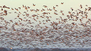 Panning shot of a large flock of Pink-footed geese (Anser brachyrhynchus) taking off from their roosting site, Montrose, Angus, Scotland, UK, November.  -  SCOTLAND: The Big Picture