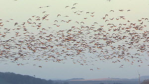 Large flock of Pink-footed geese (Anser brachyrhynchus) taking off from their roosting site, Montrose, Angus, Scotland, UK, November.  -  SCOTLAND: The Big Picture