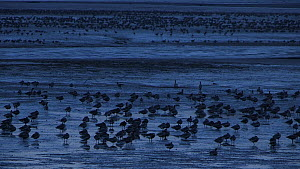 Large flock of Pink-footed geese (Anser brachyrhynchus) roosting on mudflats, Montrose, Angus, Scotland, UK, November.  -  SCOTLAND: The Big Picture