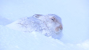 Mountain hare (Lepus timidus) in a freshly dug snow hole, Cairngorms National Park, Scotland, UK, December. - SCOTLAND: The Big Picture