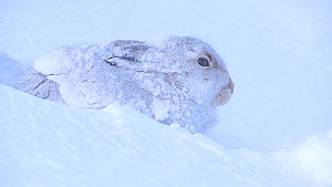A mountain hare (Lepus timidus) in a freshly dug snow hole, Cairngorms National Park, Scotland, UK, December.  -  SCOTLAND: The Big Picture