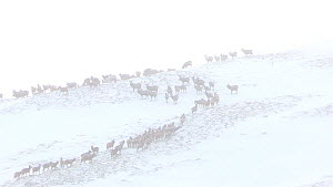 A large herd of Red deer (Cervus elaphus) on a hillside in the snow, Cairngorms National Park, Scotland, UK, January.  -  SCOTLAND: The Big Picture