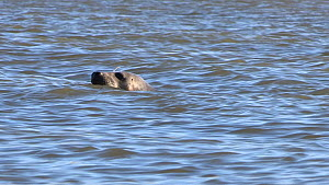 A grey seal (Halichoerus grypus) surfaces from beneath the water, Aberdeenshire, Scotland, UK, February 2015  -  SCOTLAND: The Big Picture