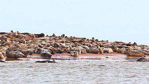 Grey seals (Halochoerus grypus) hauled out along the banks of the Ythan Estuary, agiatated, Aberdeenshire, Scotland, UK, February.  -  SCOTLAND: The Big Picture