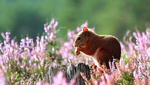 Red squirrel (Sciurus vulgaris) feeding, Scotland, UK, September 2011. - SCOTLAND: The Big Picture