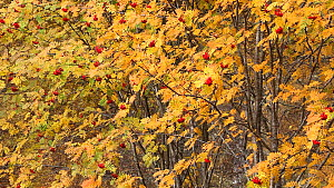 Close up of a Rowan tree (Sorbus aucuparia) in autumn, Glen Affric, Scotland, UK, October. - SCOTLAND: The Big Picture