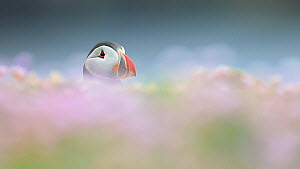 Puffin (Fratercula arctica), with Thrift (Armeria maritima) in the foreground, Fair Isle, Shetland Islands, Scotland, UK, July.  -  SCOTLAND: The Big Picture