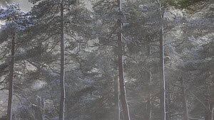 Scots pine trees (Pinus sylvestris) in heavy snowfall, Cairngorms National Park, Scotland, UK, January. - SCOTLAND: The Big Picture