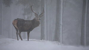 Red deer (Cervus elaphus) stag feeding in a pine forest in winter, Cairngorms National Park, Scotland, UK, January.  -  SCOTLAND: The Big Picture